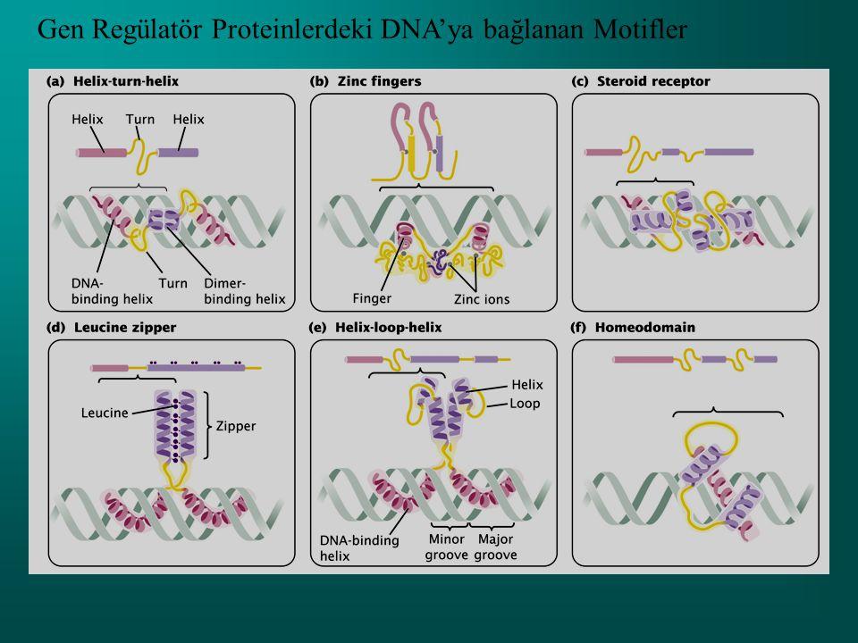 Her genin transkripsiyonu transkripsiyonun başladığı bölgeye yakın DNA'nın regülatör dizileri tarafından kontrol edilir.