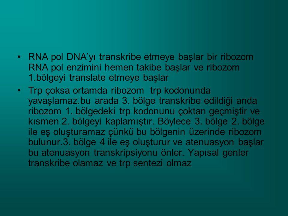 RNA pol DNA'yı transkribe etmeye başlar bir ribozom RNA pol enzimini hemen takibe başlar ve ribozom 1.bölgeyi translate etmeye başlar Trp çoksa ortamda ribozom trp kodonunda yavaşlamaz.bu arada 3.