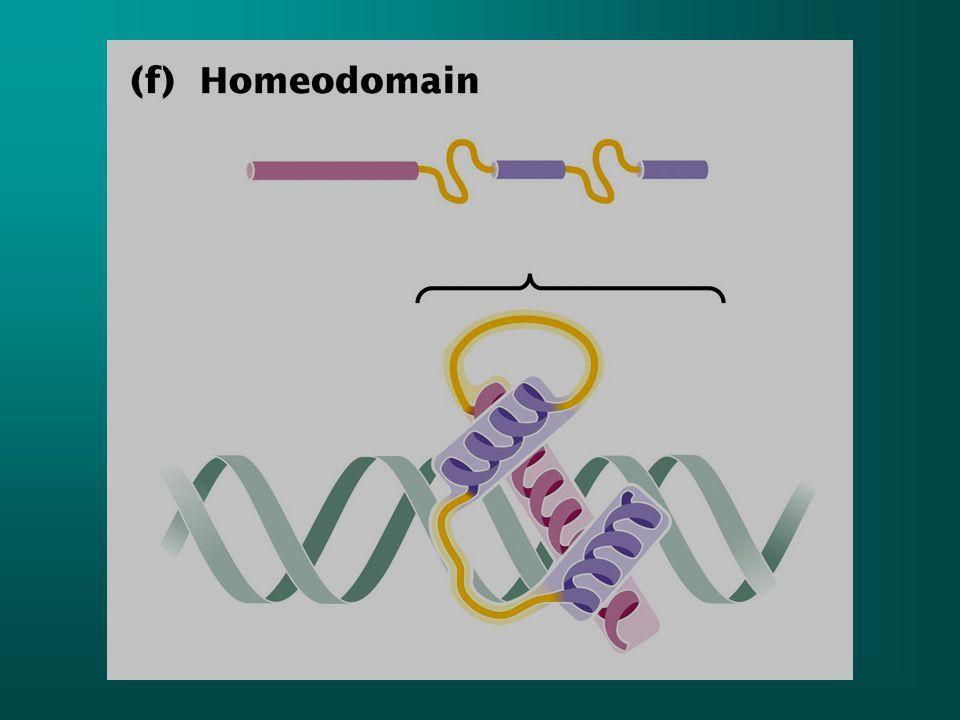 Motif lokalizasyonu özelliğiDNA'da bağlandığı bölge Heliks-turn-helixBakteri regülatör proteinleri benzer motifler ökaryotlarda da var İki alfa heliks taşırBüyük oluk (major groove) Zinc-fingerÖkaryotik regülatör proteinler Aa halkası ve çinkoBüyük oluk Steroid reseptörÖkaryorik proteinİki alfa heliks ve çinko bulunur ve çinko 4 tane sistein birimiyle çevrilidir Büyük oluk ve DNA omurgasına bağlanır Lösin fermuarıÖkaryotik transkripsiyon faktörleri Lösin birimlerinin oluşturduğu heliks ve bazik bir koldan oluşur.
