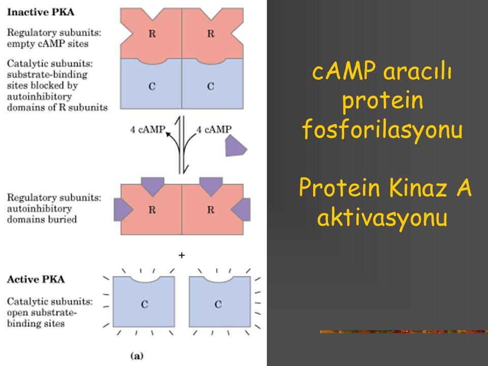 cAMP aracılı protein fosforilasyonu Protein Kinaz A aktivasyonu