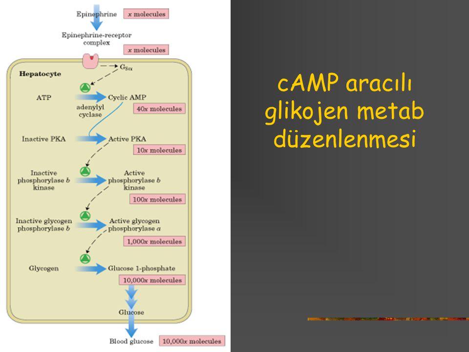 cAMP aracılı glikojen metab düzenlenmesi