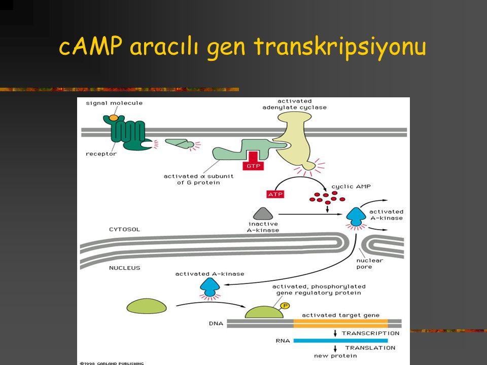 cAMP aracılı gen transkripsiyonu