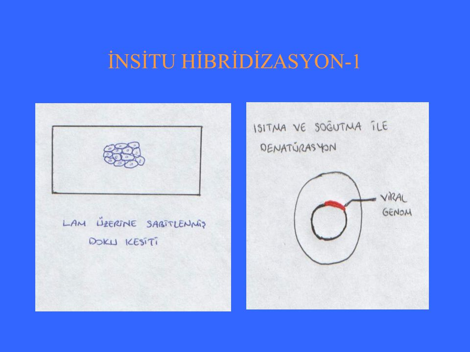 İNSİTU HİBRİDİZASYON-2