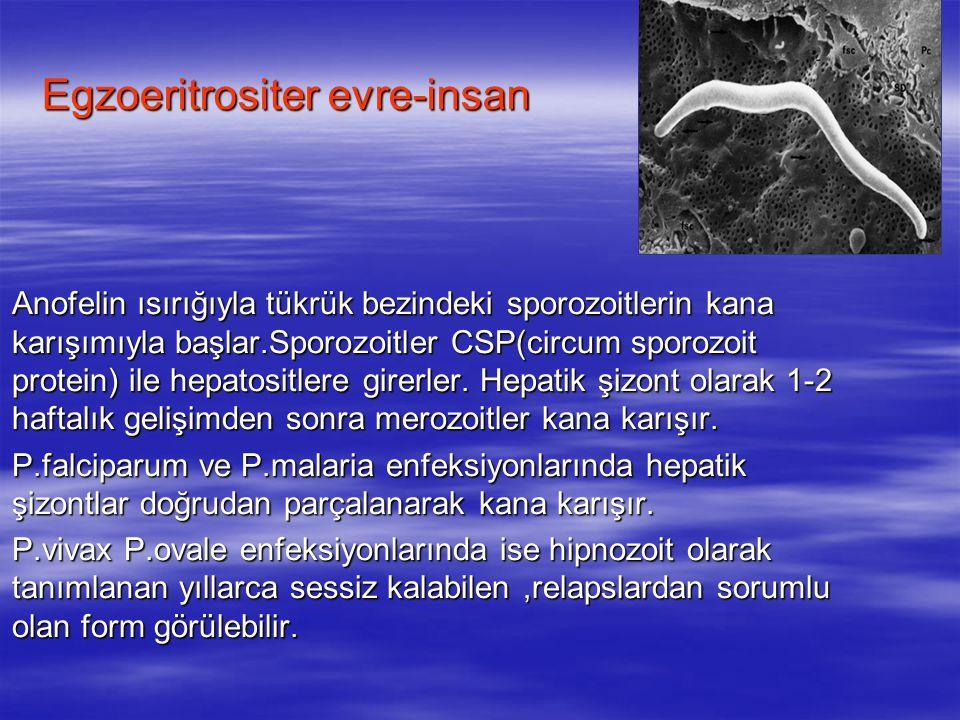 Egzoeritrositer evre-insan  Anofelin ısırığıyla tükrük bezindeki sporozoitlerin kana karışımıyla başlar.Sporozoitler CSP(circum sporozoit protein) il