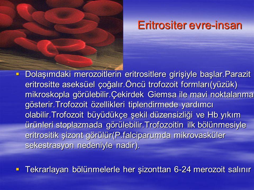Eritrositer evre-insan  Dolaşımdaki merozoitlerin eritrositlere girişiyle başlar.Parazit eritrositte aseksüel çoğalır.Öncü trofozoit formları(yüzük)