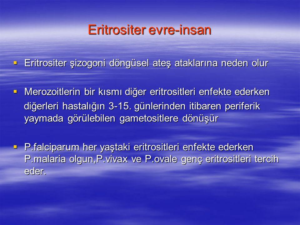 Eritrositer evre-insan  Eritrositer şizogoni döngüsel ateş ataklarına neden olur  Merozoitlerin bir kısmı diğer eritrositleri enfekte ederken diğerl