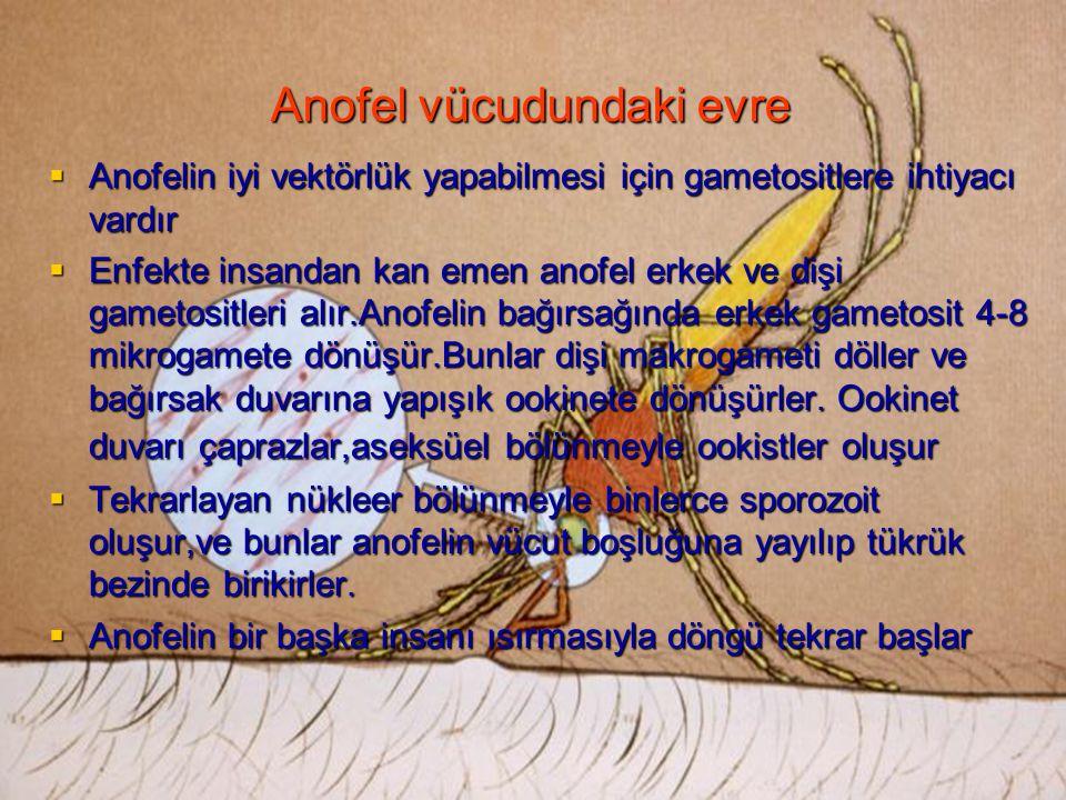 Anofel vücudundaki evre  Anofelin iyi vektörlük yapabilmesi için gametositlere ihtiyacı vardır  Enfekte insandan kan emen anofel erkek ve dişi gamet