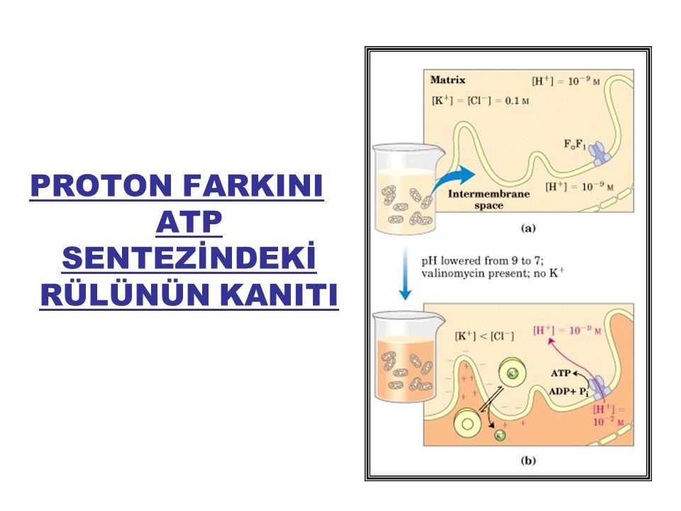 PROTON FARKINI ATP SENTEZİNDEKİ RÜLÜNÜN KANITI