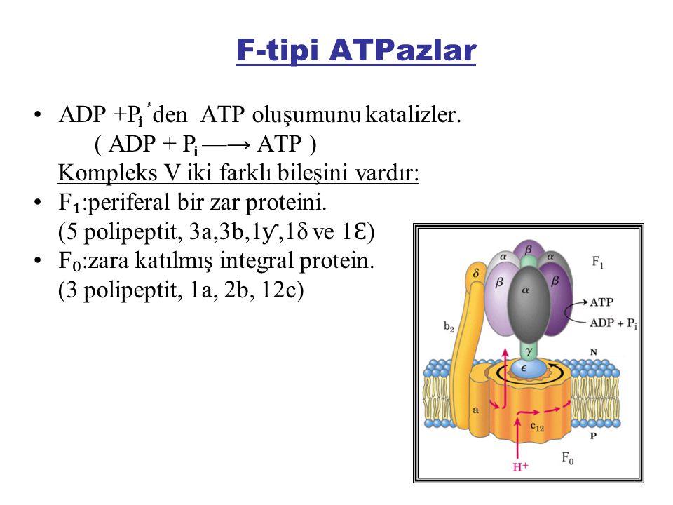 F-tipi ATPazlar ADP +P ُ den ATP oluşumunu katalizler. ( ADP + P —→ ATP ) Kompleks V iki farklı bileşini vardır: F ₁ :periferal bir zar proteini. (5 p