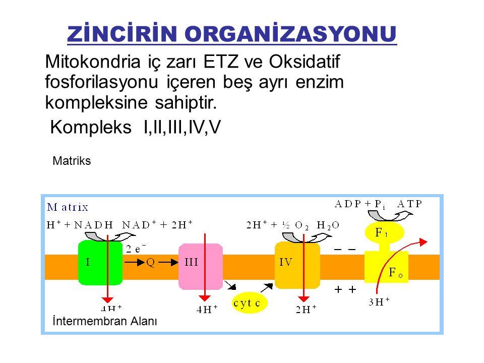 ZİNCİRİN ORGANİZASYONU Mitokondria iç zarı ETZ ve Oksidatif fosforilasyonu içeren beş ayrı enzim kompleksine sahiptir. Kompleks I,II,III,IV,V İntermem