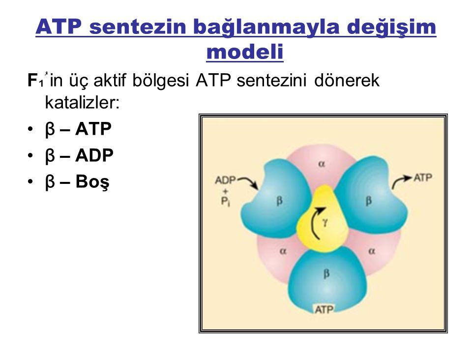ATP sentezin bağlanmayla değişim modeli F ₁ ُ in üç aktif bölgesi ATP sentezini dönerek katalizler: β – ATP β – ADP β – Boş