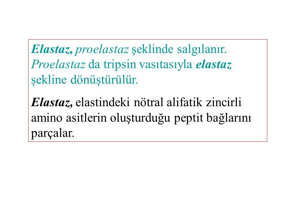Elastaz, proelastaz şeklinde salgılanır. Proelastaz da tripsin vasıtasıyla elastaz şekline dönüştürülür. Elastaz, elastindeki nötral alifatik zincirli