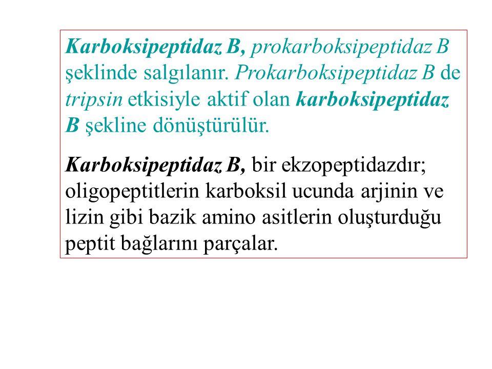 Karboksipeptidaz B, prokarboksipeptidaz B şeklinde salgılanır. Prokarboksipeptidaz B de tripsin etkisiyle aktif olan karboksipeptidaz B şekline dönüşt