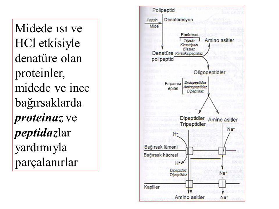 Sindirim kanalında besinsel proteinlerin hidrolitik enzimlerin etkisiyle tamamen parçalanması sonucu amino asitler oluşur