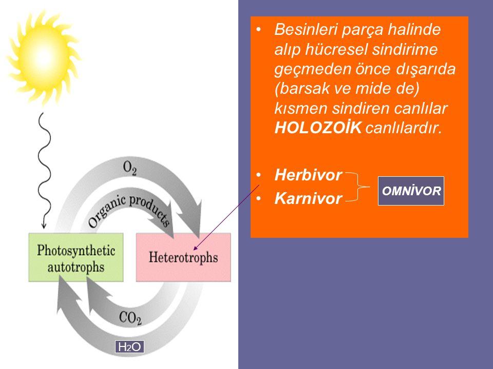Besinleri parça halinde alıp hücresel sindirime geçmeden önce dışarıda (barsak ve mide de) kısmen sindiren canlılar HOLOZOİK canlılardır.