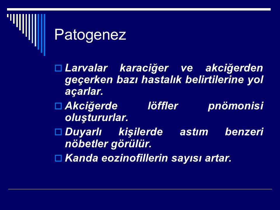 Patogenez  Larvalar karaciğer ve akciğerden geçerken bazı hastalık belirtilerine yol açarlar.  Akciğerde löffler pnömonisi oluştururlar.  Duyarlı k