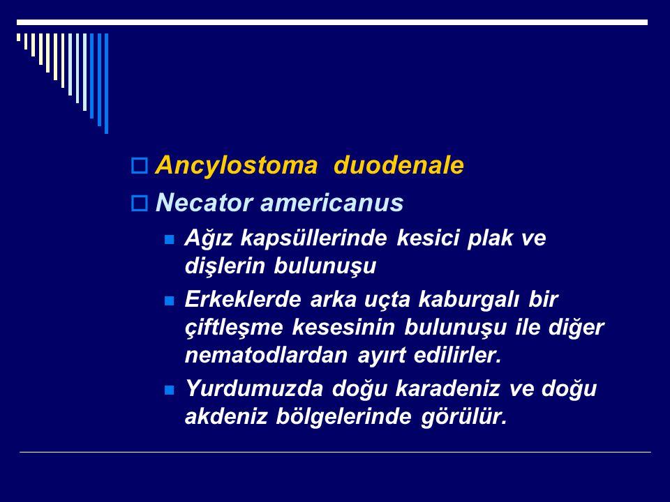  Ancylostoma duodenale  Necator americanus Ağız kapsüllerinde kesici plak ve dişlerin bulunuşu Erkeklerde arka uçta kaburgalı bir çiftleşme kesesinin bulunuşu ile diğer nematodlardan ayırt edilirler.