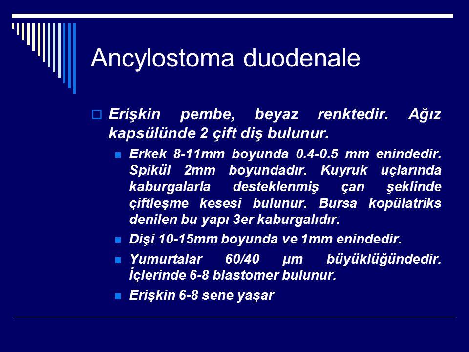 Ancylostoma duodenale  Erişkin pembe, beyaz renktedir. Ağız kapsülünde 2 çift diş bulunur. Erkek 8-11mm boyunda 0.4-0.5 mm enindedir. Spikül 2mm boyu
