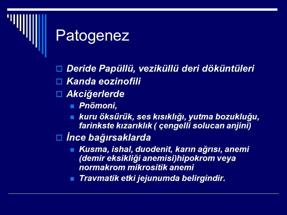 Patogenez  Deride Papüllü, veziküllü deri döküntüleri  Kanda eozinofili  Akciğerlerde Pnömoni, kuru öksürük, ses kısıklığı, yutma bozukluğu, farinkste kızarıklık ( çengelli solucan anjini)  İnce bağırsaklarda Kusma, ishal, duodenit, karın ağrısı, anemi (demir eksikliği anemisi)hipokrom veya normakrom mikrositik anemi Travmatik etki jejunumda belirgindir.