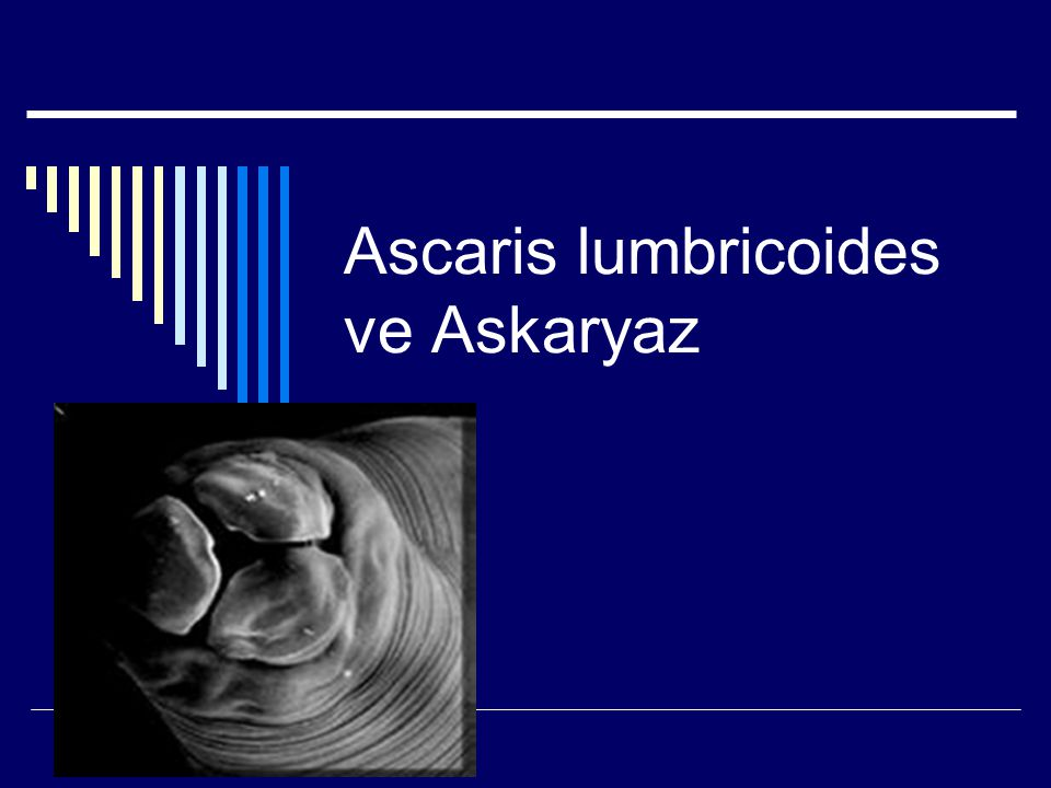 Ascaris lumbricoides, the large roundworm of humans.