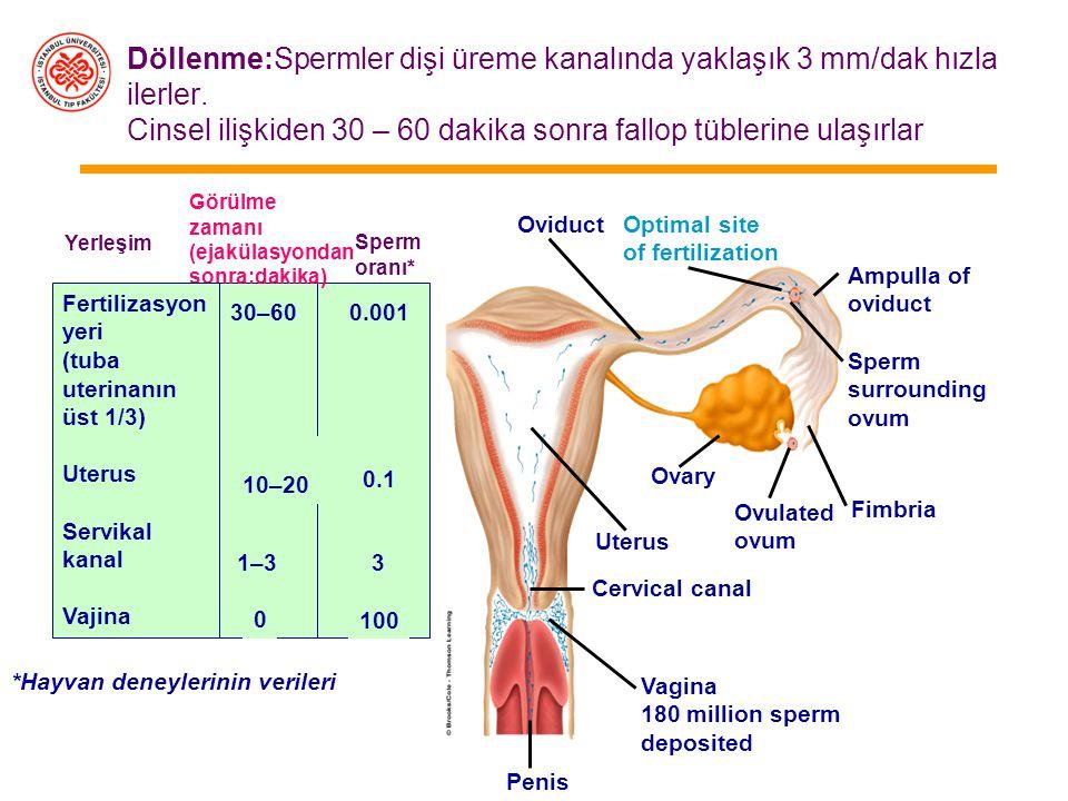 Ovumun fallop tüpüne alınması Fimbriyaların iç yüzündeki silyalı epitel sayesinde gerçekleşir (%98) Östrojenle aktive olan silya, fallop tüplerinin ağ