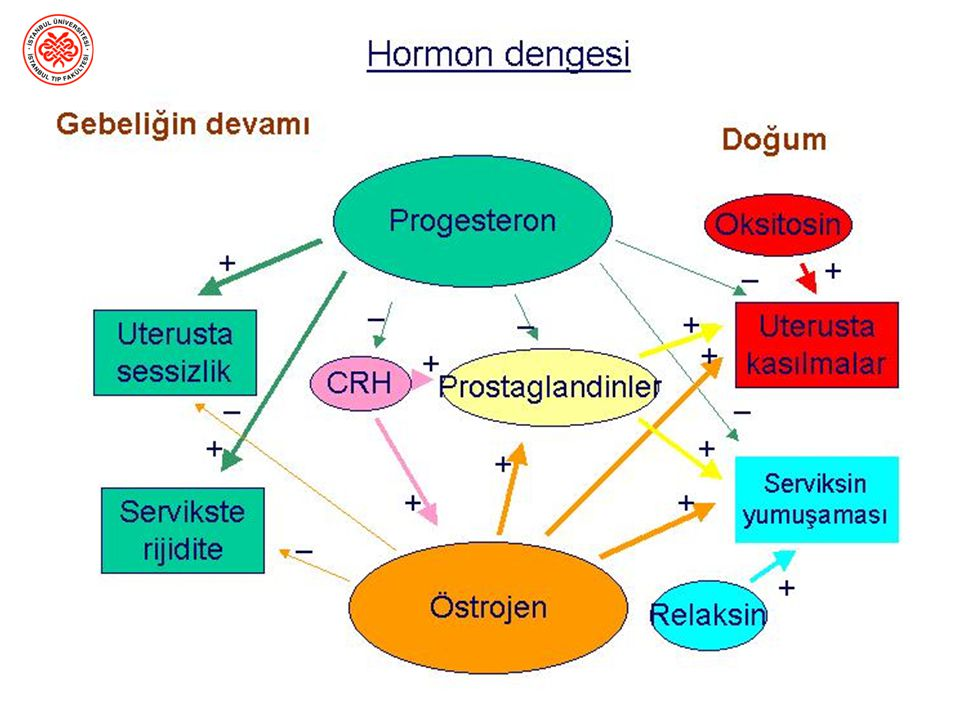 Annede – uterusunun gelişimi –meme büyümesi ve duktal yapının gelişimi –dış genital organların gelişimi Fetus ve embriyo gelişimi Östrojen ve gebelik