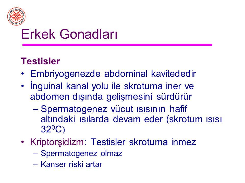 Erişkin erkek üreme organları Testisler: Gametogenez ve steroid üretimi Epididim: Spermin olgunlaşma ve depolanması Vas Deferens: Epididim ile üretra