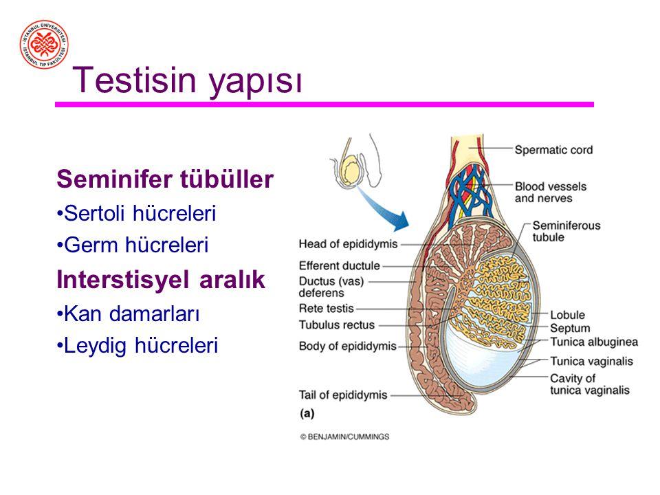 Erişkin erkek üreme organları Yardımcı cinsiyet bezleri Prostat, bulboüretral bezler, vesika seminalis –Tümü birden spermin içinde yaşadığı ve ejeküla