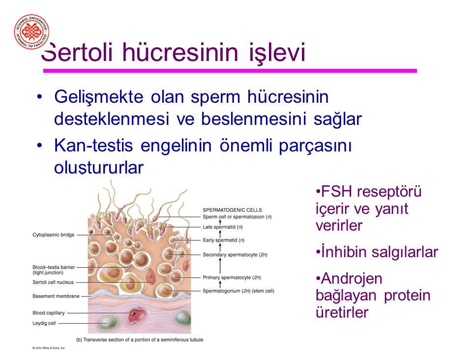 Testisin yapısı Seminifer tübüller Sertoli hücreleri Germ hücreleri Interstisyel aralık Kan damarları Leydig hücreleri