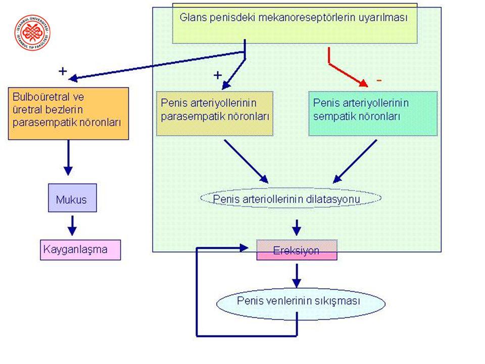 Ereksiyon Ereksiyon = penisin sertleşmesi Sinir sistemi ile kontrol edilir –Parasempatik uyarı ile başlar –Sempatik uyarı ile inhibe olur Vazodilatasy