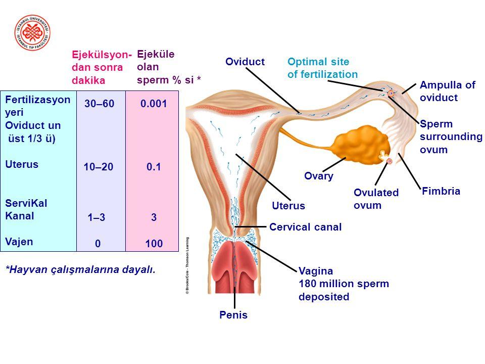 Döllenme Ovum ile spermin birleşmesidir Fertilizasyon fallop tüplerinin ampullasında gerçekleşir Ovum döllenme yerine birkaç günde ulaşır Döllenen ovu