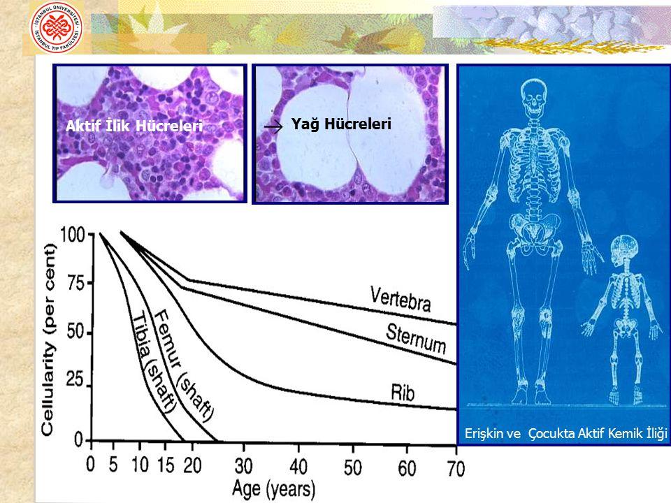 Yağ Hücreleri Aktif İlik Hücreleri Erişkin ve Çocukta Aktif Kemik İliği