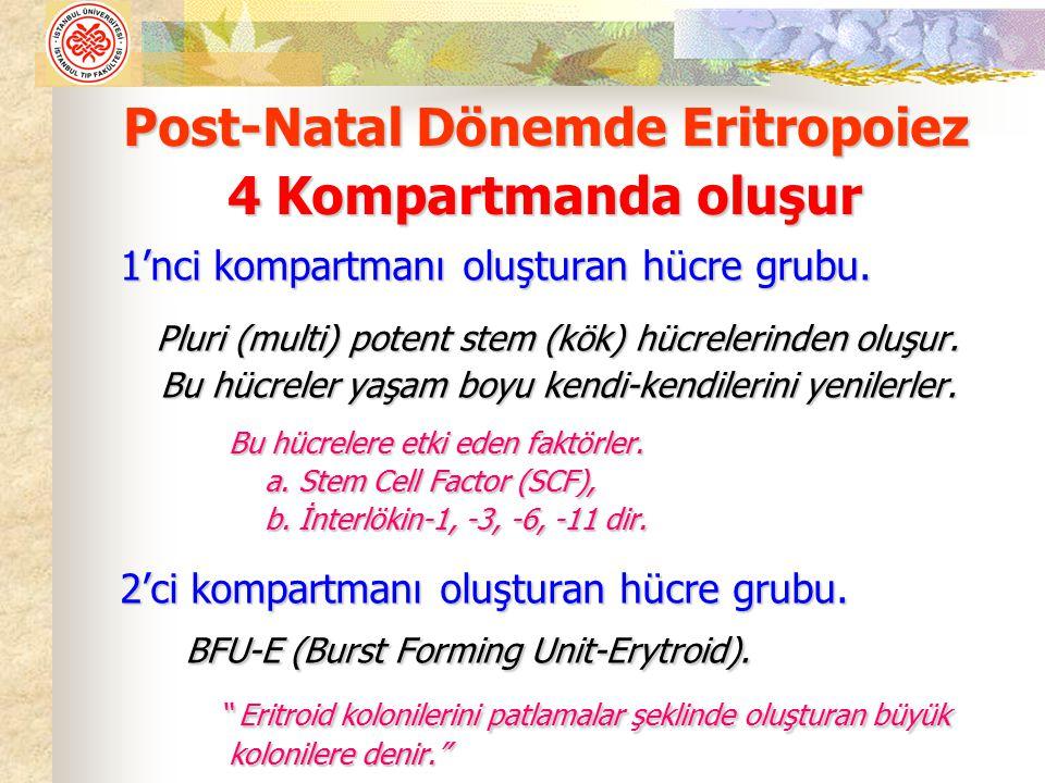 1'nci kompartmanı oluşturan hücre grubu. Pluri (multi) potent stem (kök) hücrelerinden oluşur. Pluri (multi) potent stem (kök) hücrelerinden oluşur. B