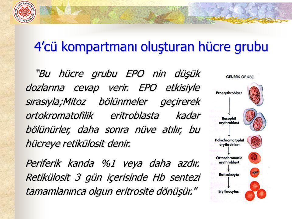 """4'cü kompartmanı oluşturan hücre grubu """"Bu hücre grubu EPO nin düşük dozlarına cevap verir. EPO etkisiyle sırasıyla;Mitoz bölünmeler geçirerek ortokro"""