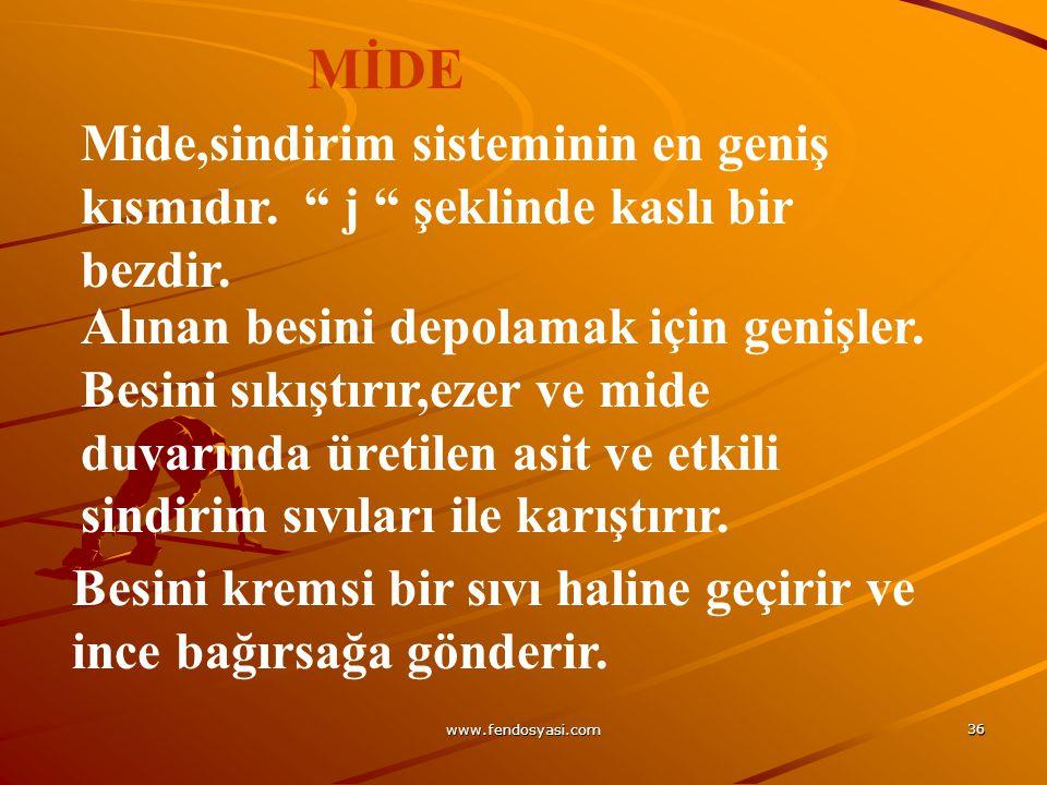 """www.fendosyasi.com 36 Mide,sindirim sisteminin en geniş kısmıdır. """" j """" şeklinde kaslı bir bezdir. Alınan besini depolamak için genişler. Besini sıkış"""