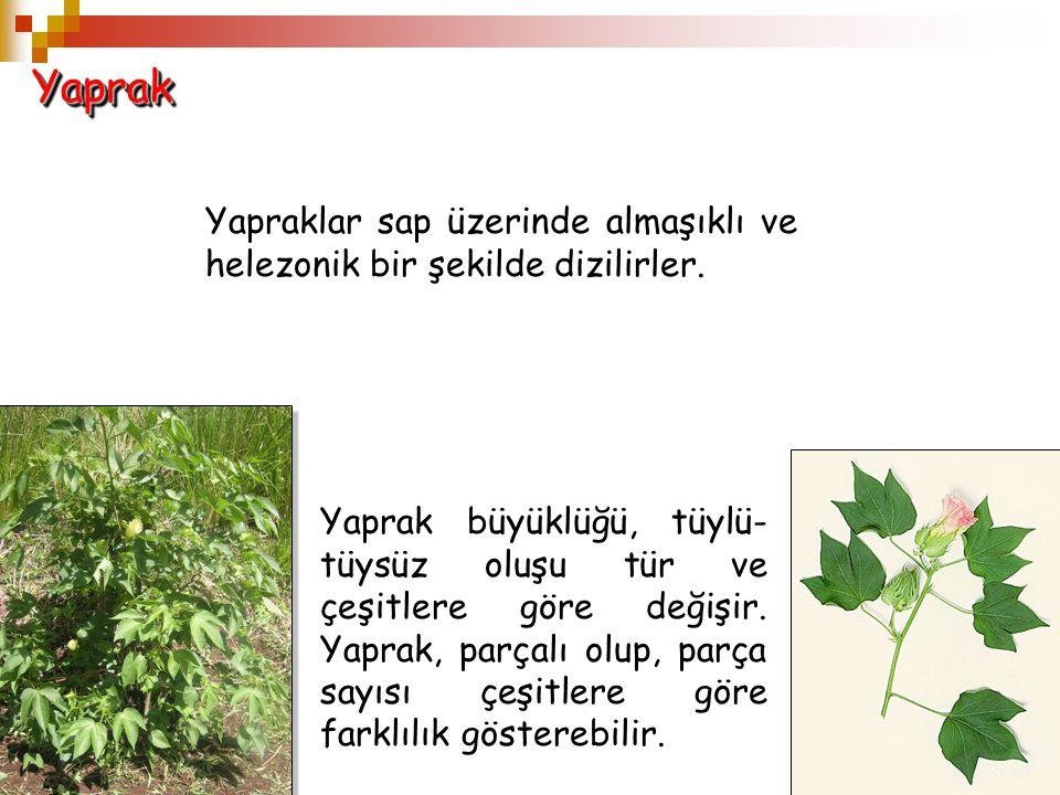 YaprakYaprak Yapraklar sap üzerinde almaşıklı ve helezonik bir şekilde dizilirler. Yaprak büyüklüğü, tüylü- tüysüz oluşu tür ve çeşitlere göre değişir