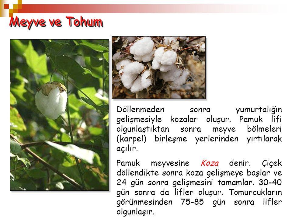 Meyve ve Tohum Döllenmeden sonra yumurtalığın gelişmesiyle kozalar oluşur. Pamuk lifi olgunlaştıktan sonra meyve bölmeleri (karpel) birleşme yerlerind