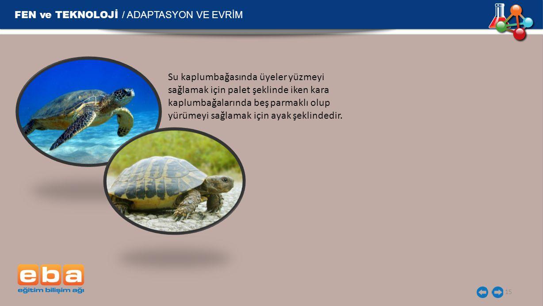 FEN ve TEKNOLOJİ / ADAPTASYON VE EVRİM 15 Su kaplumbağasında üyeler yüzmeyi sağlamak için palet şeklinde iken kara kaplumbağalarında beş parmaklı olup yürümeyi sağlamak için ayak şeklindedir.