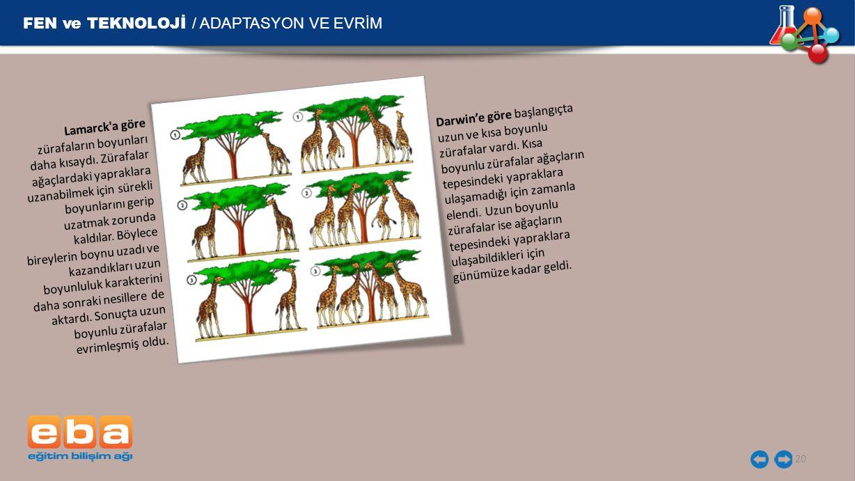 FEN ve TEKNOLOJİ / ADAPTASYON VE EVRİM 20 Lamarck a göre zürafaların boyunları daha kısaydı.