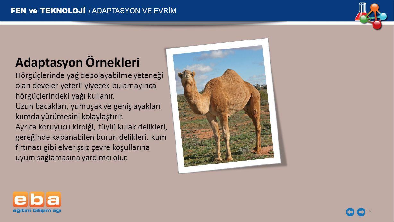 FEN ve TEKNOLOJİ / ADAPTASYON VE EVRİM 5 Adaptasyon Örnekleri Hörgüçlerinde yağ depolayabilme yeteneği olan develer yeterli yiyecek bulamayınca hörgüçlerindeki yağı kullanır.
