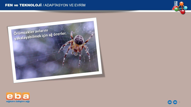 FEN ve TEKNOLOJİ / ADAPTASYON VE EVRİM 6 Örümcekler avlarını yakalayabilmek için ağ örerler.