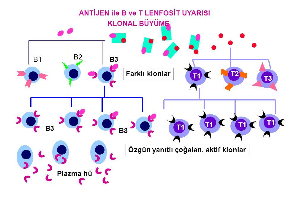 ANTİJEN ile B ve T LENFOSİT UYARISI KLONAL BÜYÜME B1 B2 B3 T3 T1 T2 Farklı klonlar Özgün yanıtlı çoğalan, aktif klonlar Plazma hü