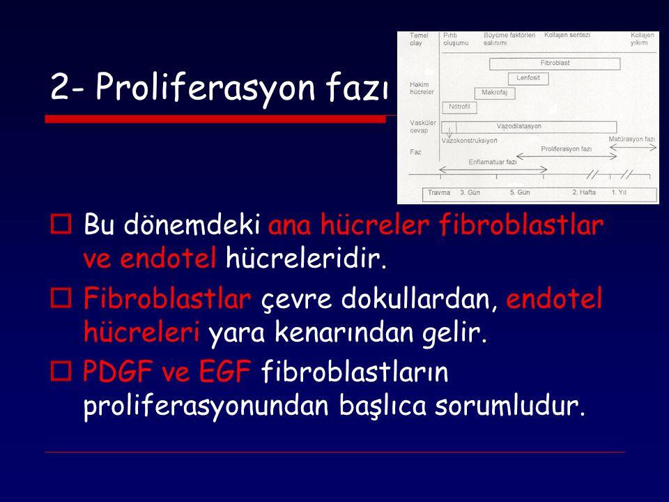 2- Proliferasyon fazı  Bu dönemdeki ana hücreler fibroblastlar ve endotel hücreleridir.  Fibroblastlar çevre dokullardan, endotel hücreleri yara ken