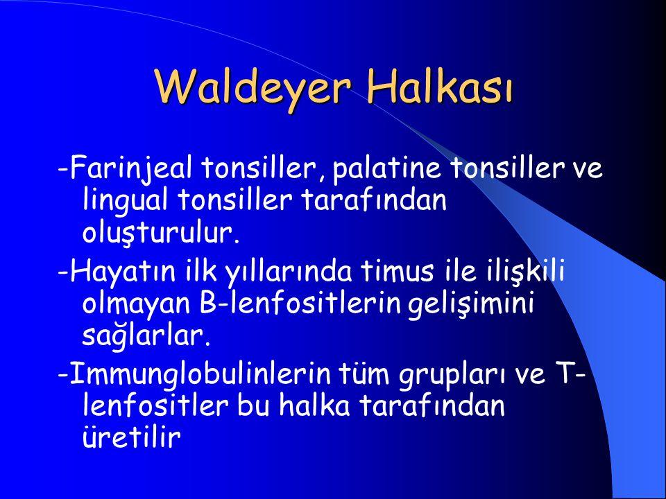Waldeyer Halkası -Farinjeal tonsiller, palatine tonsiller ve lingual tonsiller tarafından oluşturulur. -Hayatın ilk yıllarında timus ile ilişkili olma