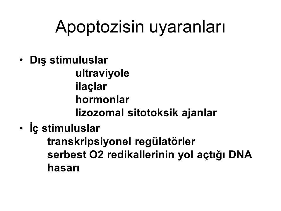 Apoptozisin uyaranları Dış stimuluslar ultraviyole ilaçlar hormonlar lizozomal sitotoksik ajanlar İç stimuluslar transkripsiyonel regülatörler serbest