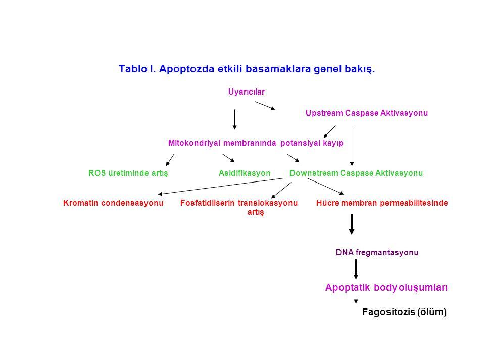 Tablo I. Apoptozda etkili basamaklara genel bakış. Uyarıcılar Upstream Caspase Aktivasyonu Mitokondriyal membranında potansiyal kayıp ROS üretiminde a
