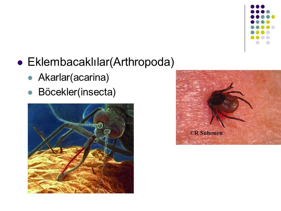 Eklembacaklılar(Arthropoda) Akarlar(acarina) Böcekler(insecta)