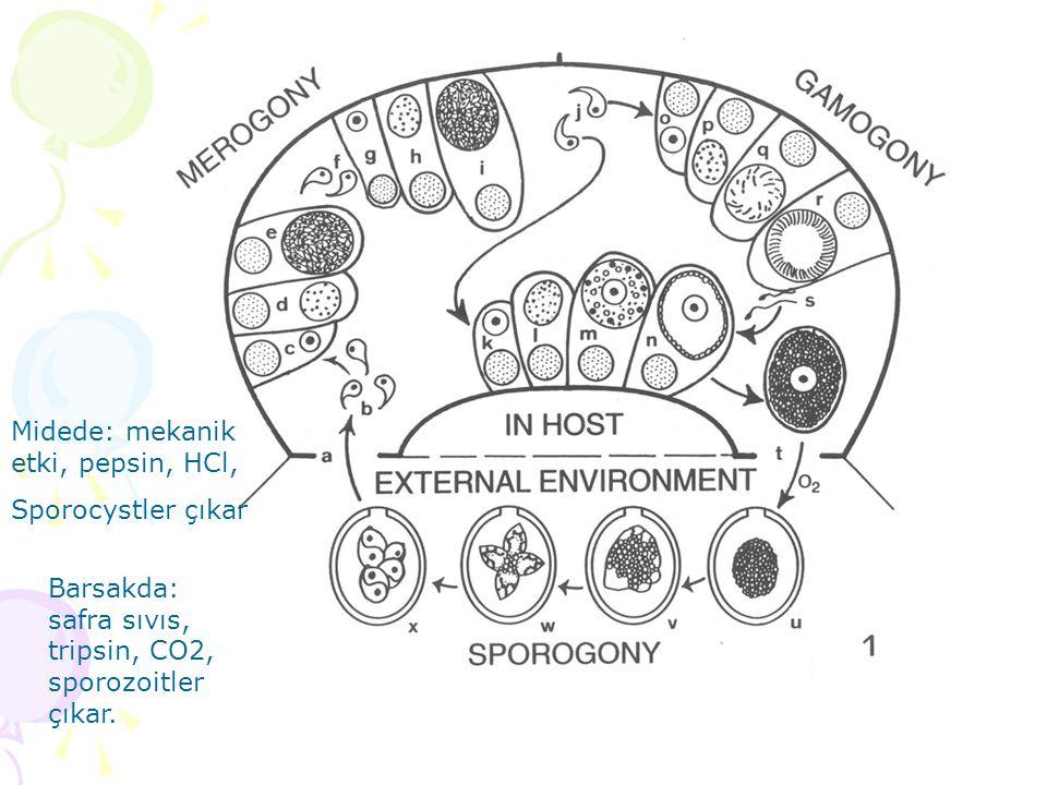 Midede: mekanik etki, pepsin, HCl, Sporocystler çıkar Barsakda: safra sıvıs, tripsin, CO2, sporozoitler çıkar.