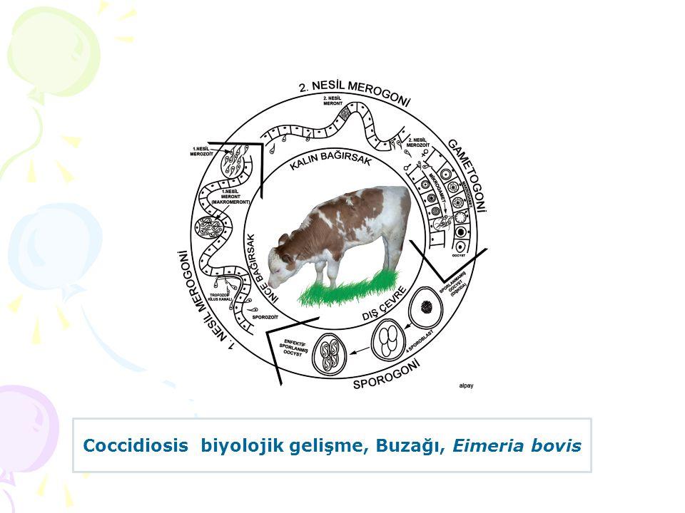 Coccidiosis biyolojik gelişme, Buzağı, Eimeria bovis