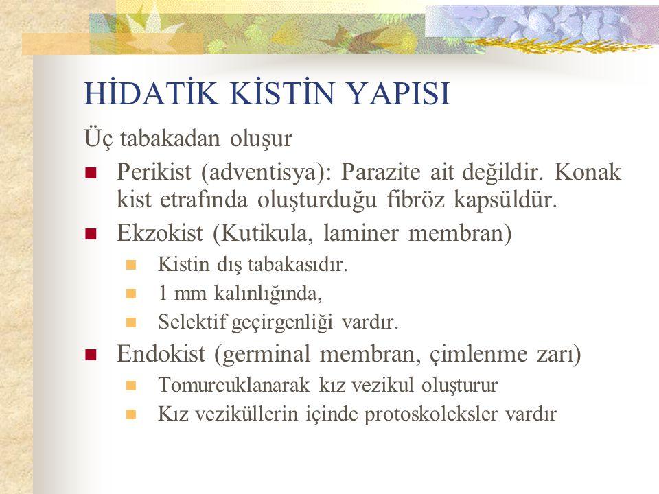 HİDATİK KİSTİN YAPISI Üç tabakadan oluşur Perikist (adventisya): Parazite ait değildir. Konak kist etrafında oluşturduğu fibröz kapsüldür. Ekzokist (K